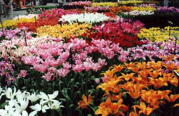 تقرير مميز عن امستردام 43_tulipes_au_kukenhof